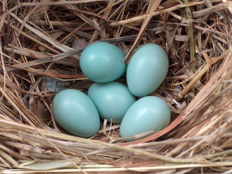 Starling eggs are a light blue colour