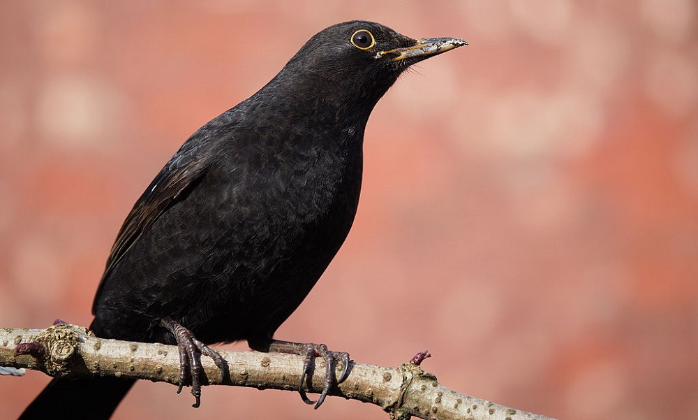 Common European Blackbird