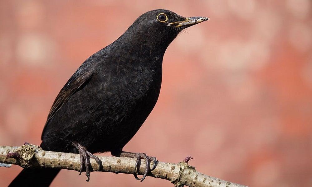 Common European Blackbird