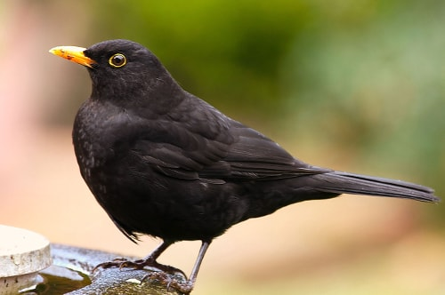 Commen European Blackbird