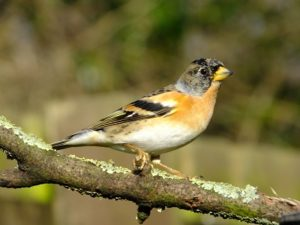 Brambling at wintertime in UK