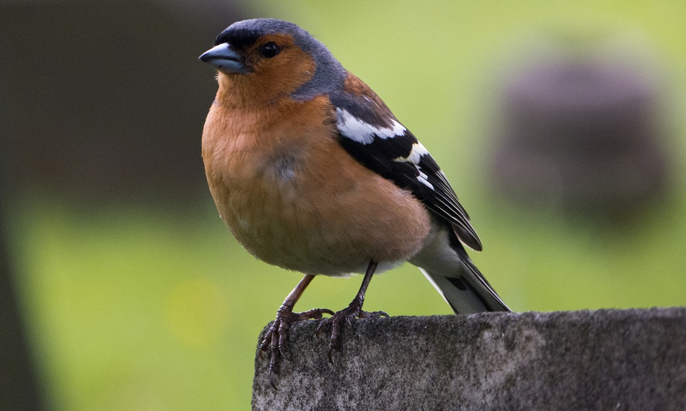 See information about the Chaffinch