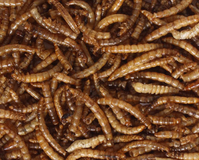 Dried Mealworms, available from 100g and up to 5kg bags