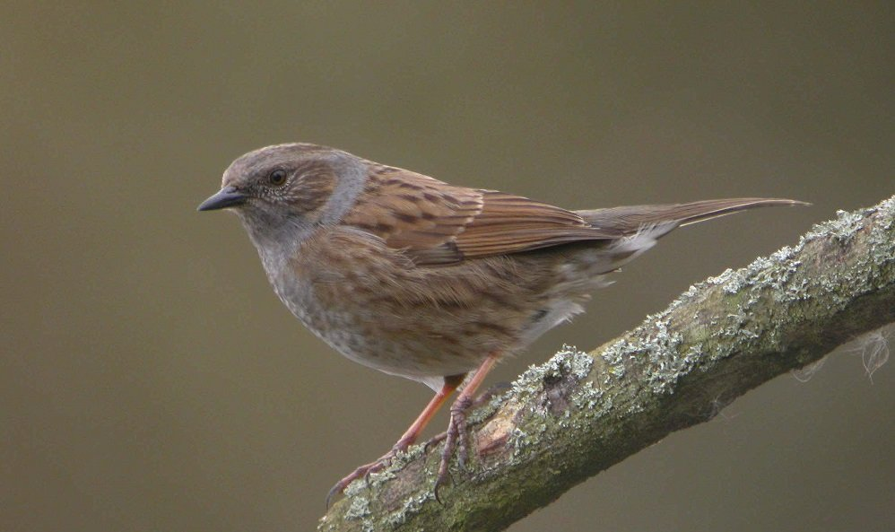 See information about the Dunnock