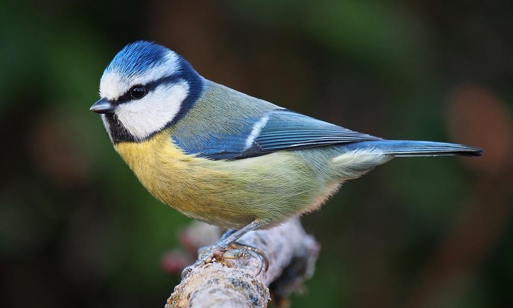 Common European Blue Tit