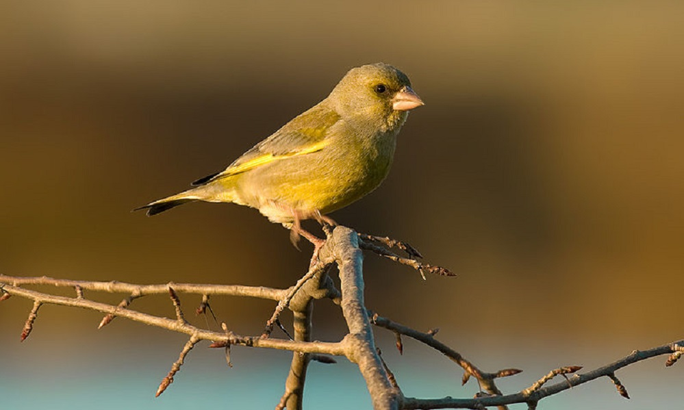 See information about the Greenfinch