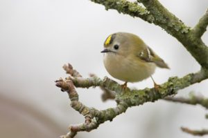 Goldcrest (Regulus regulus) on branch, the Netherlands