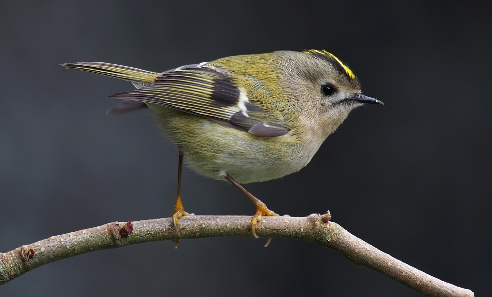See information about the Goldcrest