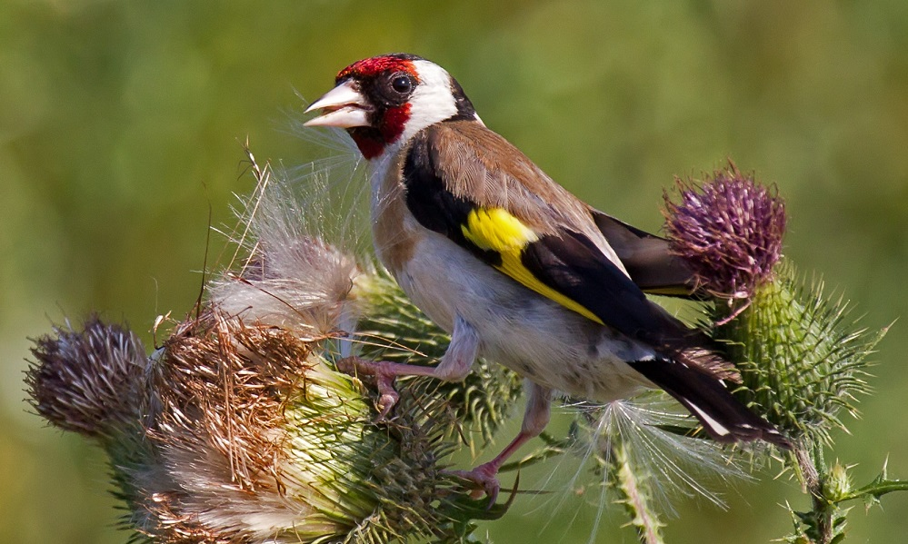 See information about the Goldfinch