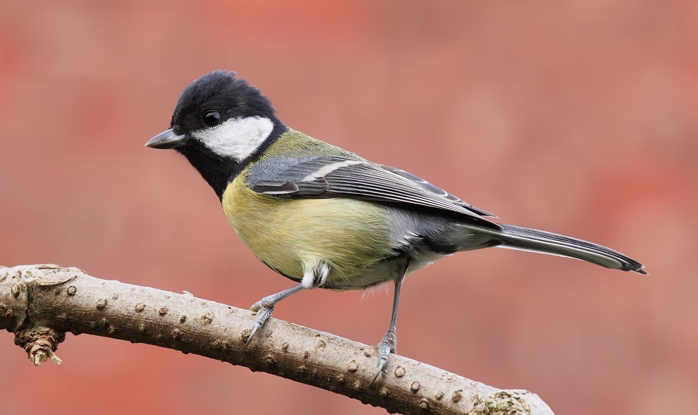 See information about the Great Tit