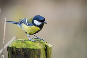 Great tit on a wooden post