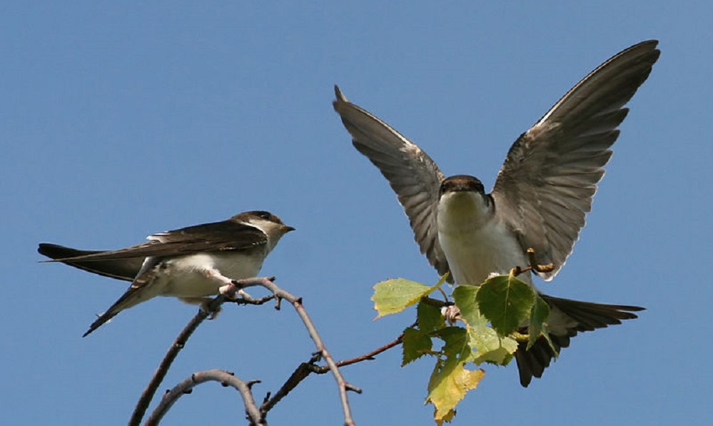 See information about the House Martin