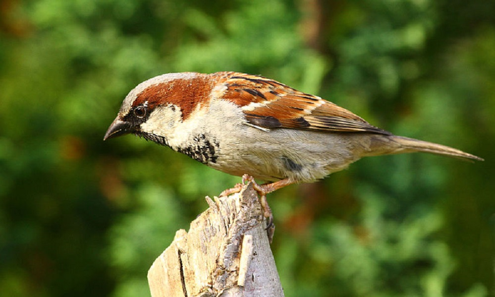 See information about the House Sparrow