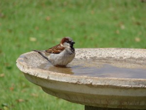 House Sparrow bathing in water