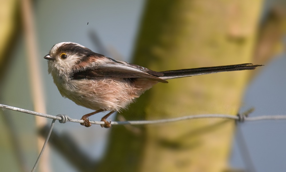 See information about the Long Tailed Tit