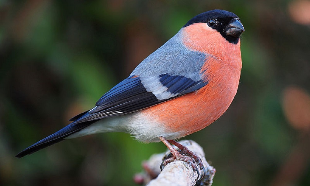 See information about the Bullfinch