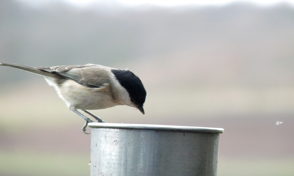 See information about the Marsh Tit