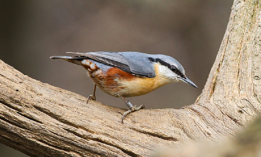 See information about the Nuthatch
