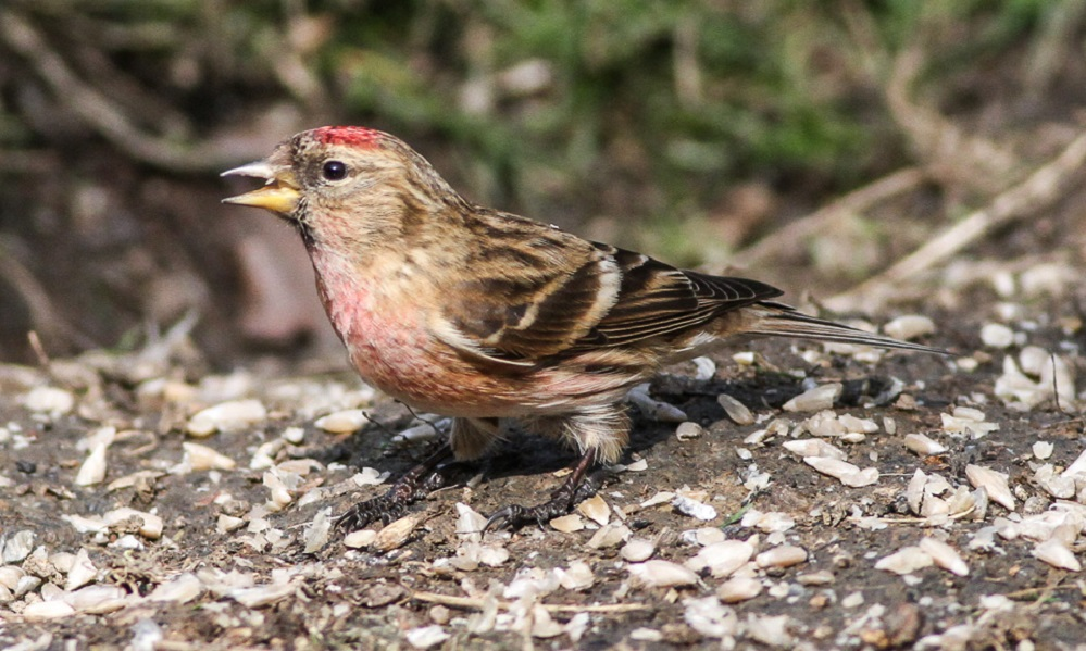 See information about the Redpoll