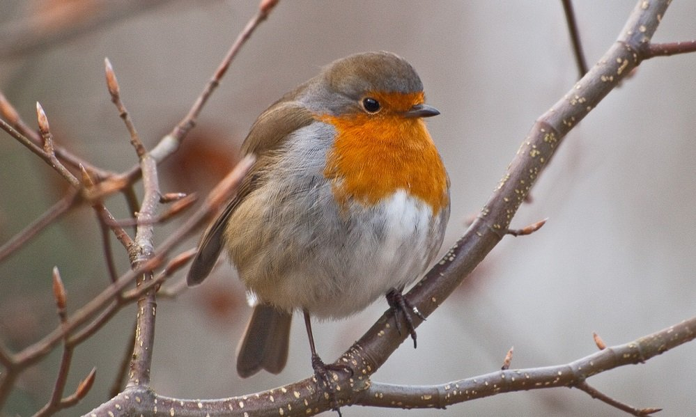 See information about the Robin