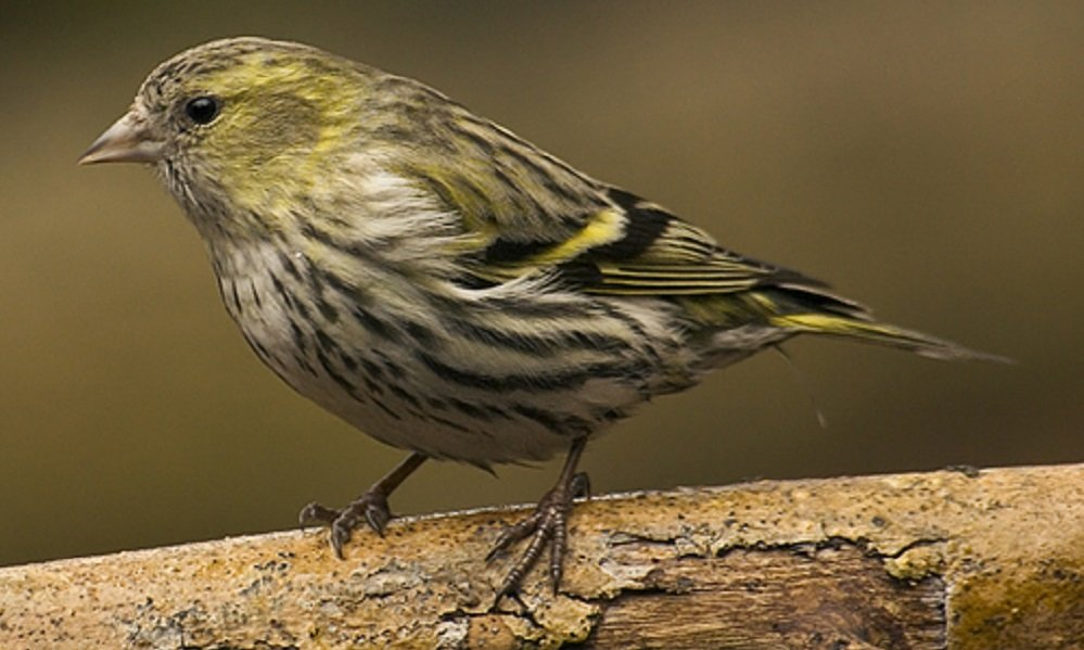 See information about the Siskin