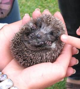 National Hedgehog Week - Small Hedgehog