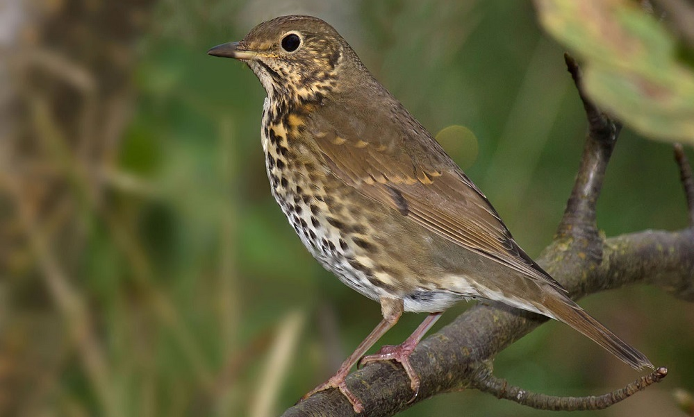 See information about the Song Thrush