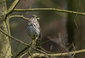 Song thrush (Turdus philomelos) in spring against fuzzy background, Poland, Europe