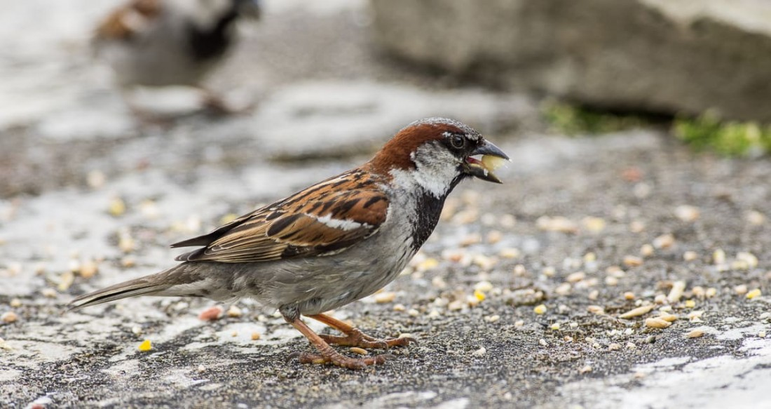 Ground Feeding Sparrow