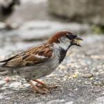 Ground Feeding Sparrow