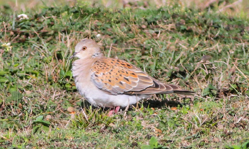 See information about the Turtle Dove