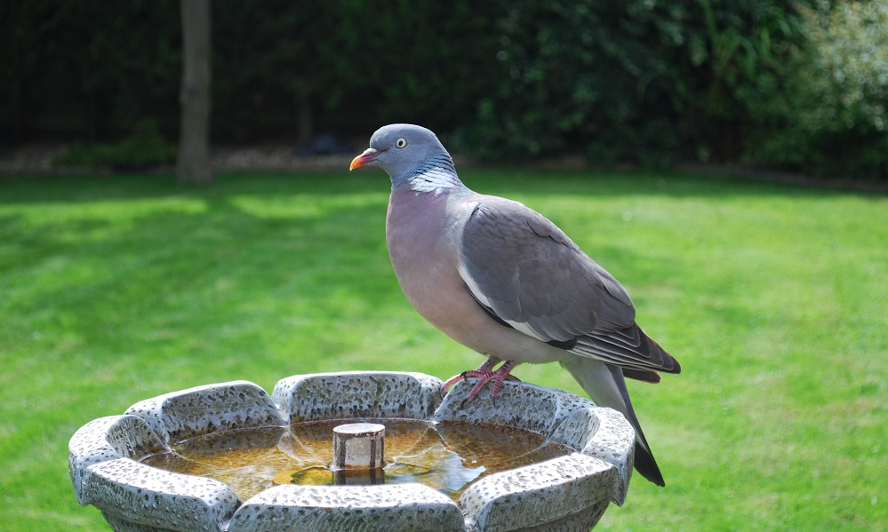 See information about the Wood Pigeon