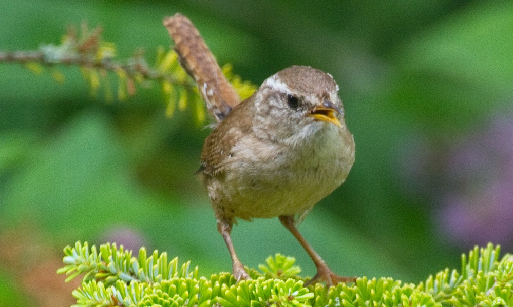 See information about the Wren