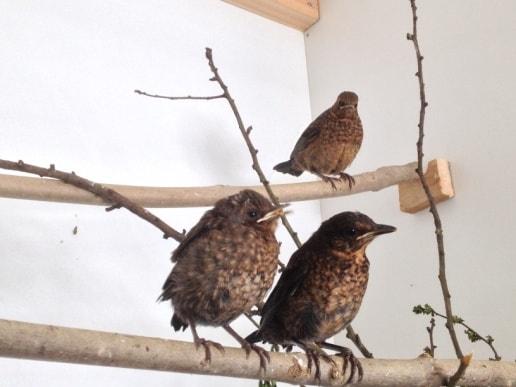 Young Blackbirds