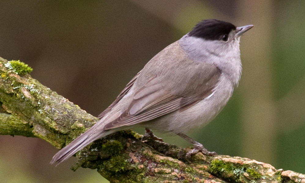 See information about the Blackcap