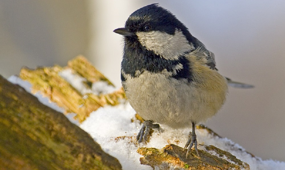 See information about the Coal Tit