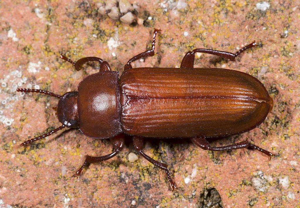The mealworm beetle