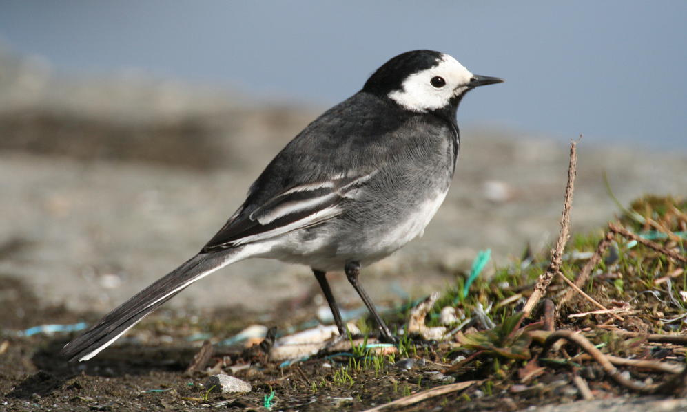 See information about the Pied Wagtail