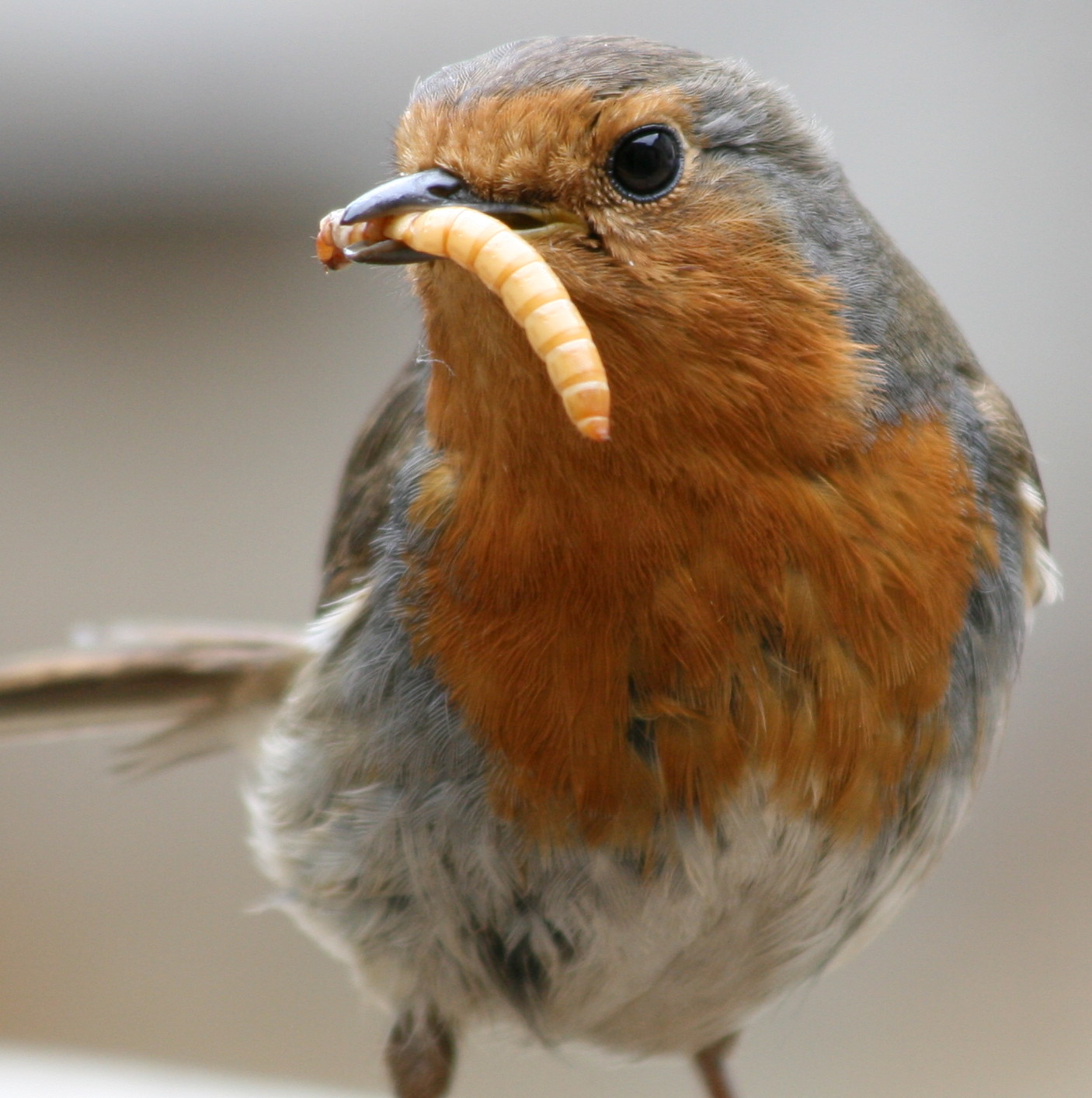 A robin eating a live mealworm