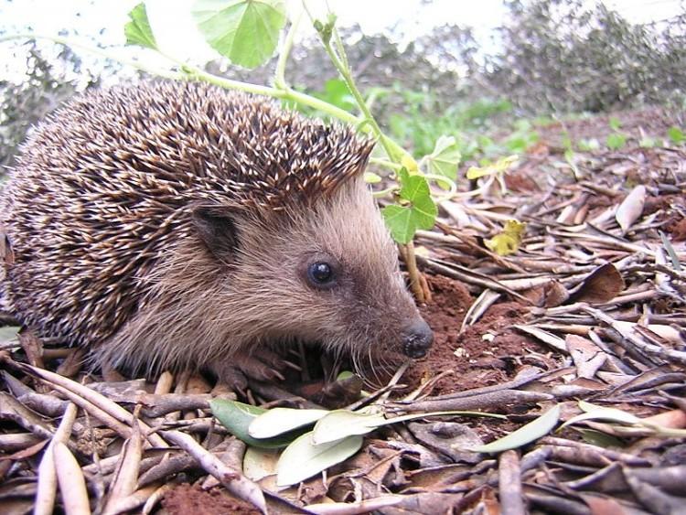 National Hedgehog Week - Hedgehog