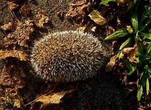 National Hedgehog Week