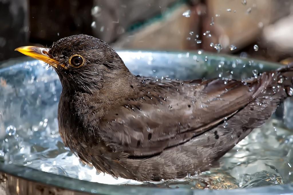 Birds..Birds..Birds..having_a_-Bird_Bath-_(5931119626)