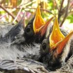 fledgling-robins_small