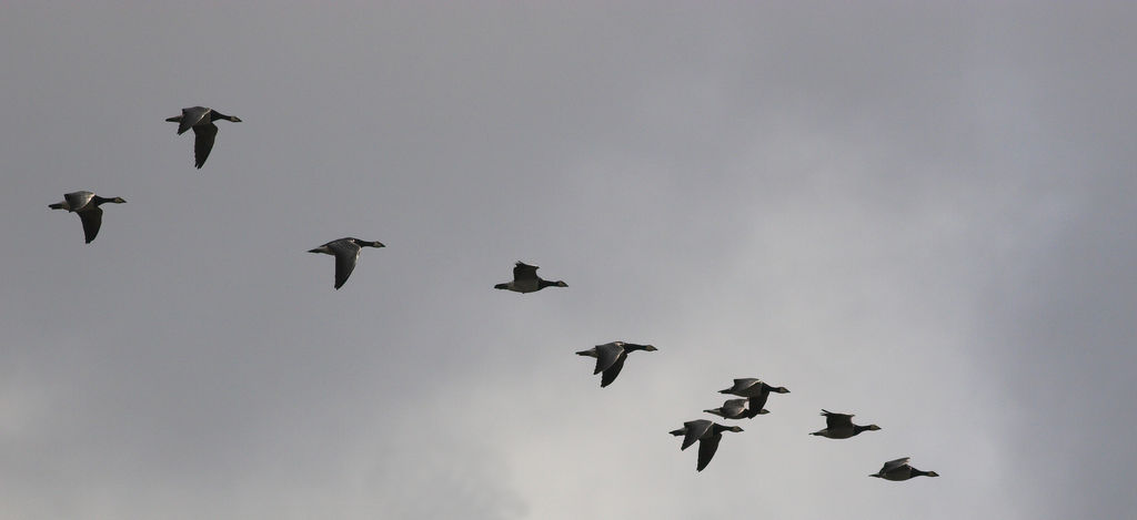 Migrating Barnacle Geese in Flight
