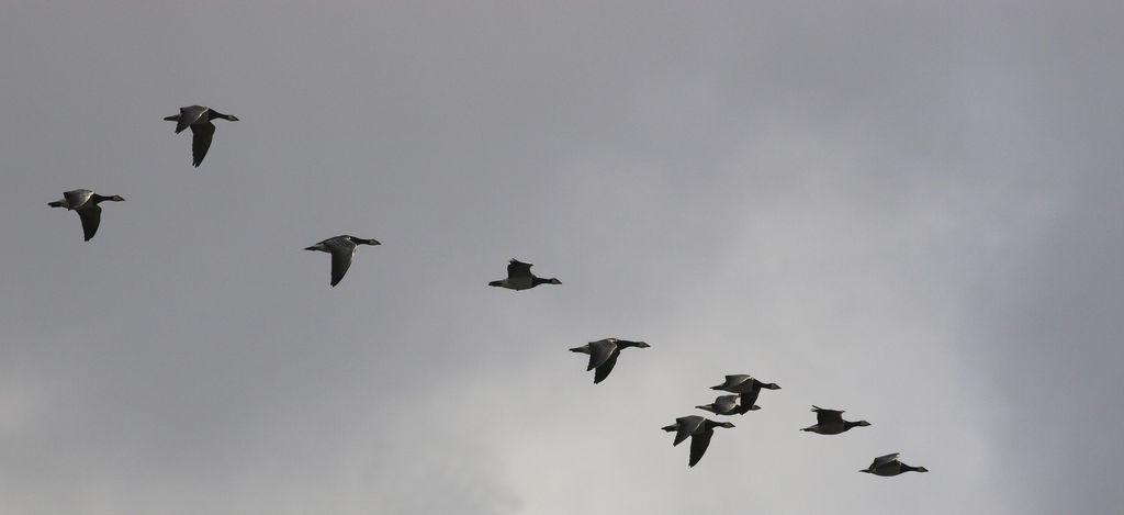 Migrating Barnacle Geese in Flight